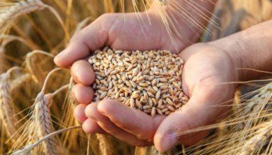 حبوب القمح