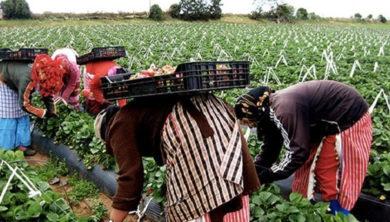 العاملات المغربيات في حقول التوت بإسبانيا